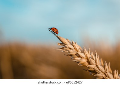Golden Wheat Ear with Ladybug. Ears Wheat or Rye close up. Wonderful Rural Scenery. Small Depth of Fields. Soft Focus. Creative Picture of Nature.  Label art design. Idea of Rich Harvest. Macro