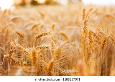 Golden wheat ears close up fields harvest crop