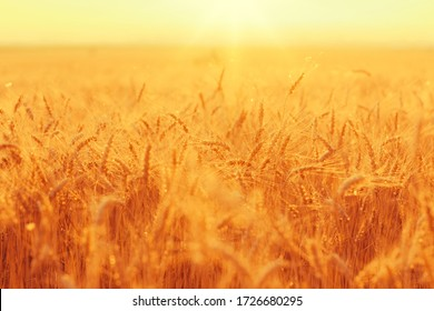 Golden wheat ears on a field against bright sunset shining light.