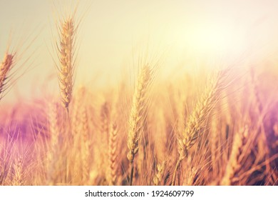 Golden wheat ears or rye close-up. A fresh crop of rye. The idea of a rich harvest concept. Rural landscape under shining sunlight. Soft lighting effects. vintage stule