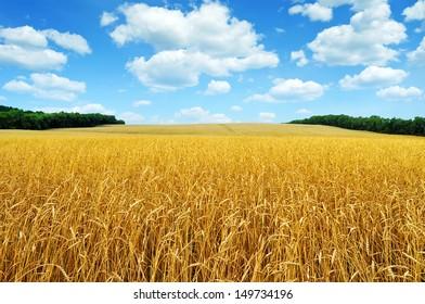 Golden wheat field against a beautiful blue sky
