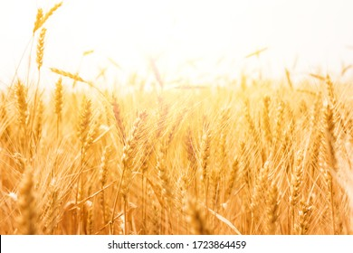 Golden wheat field, Agriculture farm and farming concept