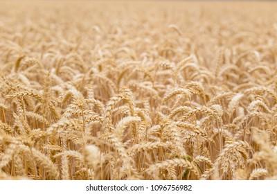 Golden wheat field background.