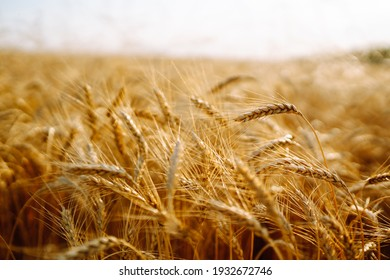Golden wheat field and blue sky. Growth nature harvest. Agriculture farm.