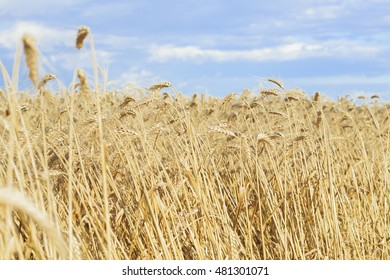 Golden wheat field and blue sky over it