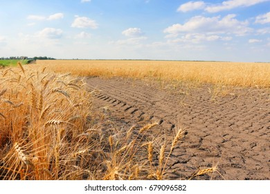 Golden wheat field with blue sky in background.