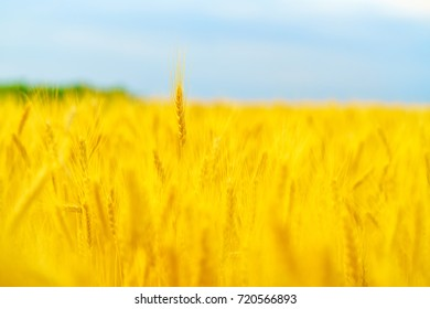 Golden wheat in the field with and blue sky