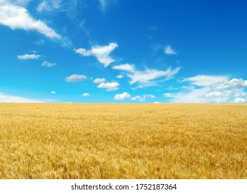Golden wheat field and bright blue sky with cirrus clouds.