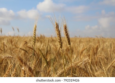 Golden Wheat Field, Harvest, on a Summer day