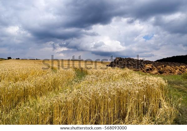 Golden wheat field in Mid-Germany
