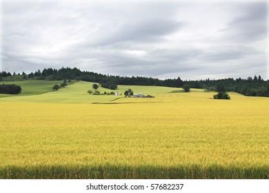 Golden wheat field in Oregon's Willamette valley with vineyard on green hillside in background