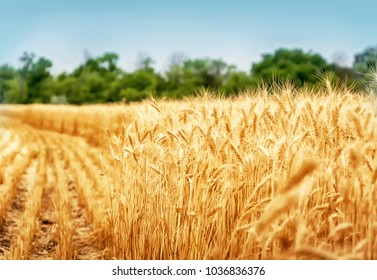 Golden wheat field ready for harvest