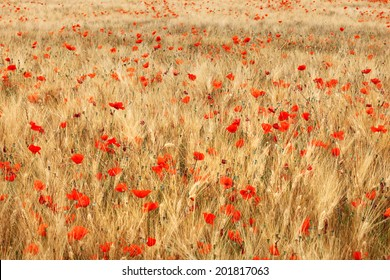 Golden wheat field with red poppies flower.