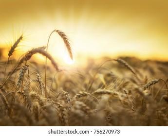 Golden wheat field and sun