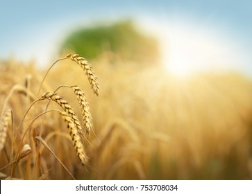 Golden wheat field and sun under blue sky