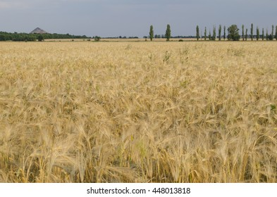 Golden wheat field in Sunny autumn day