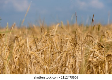 golden wheat field and sunny day in summer.