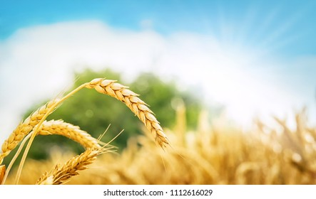 Golden wheat field at a sunny day