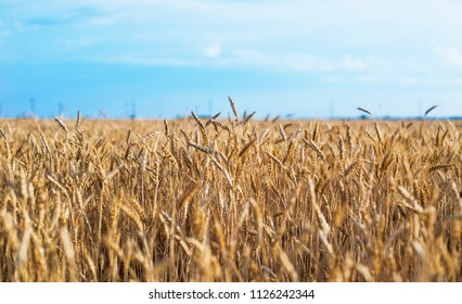 golden wheat field and sunny day, beautiful nature landscape. Rural scenery under shining sunlight. Background of ripening ears of wheat field. rich harvest concept