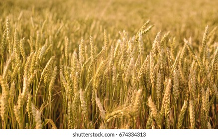Golden wheat field and sunny day, close up nature photo Idea of a rich harvest.