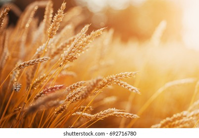 Golden wheat field and sunny day Wheat field. Ears of golden wheat close up. Beautiful Nature Sunset Landscape. Rural Landscape under Shining Sunlight