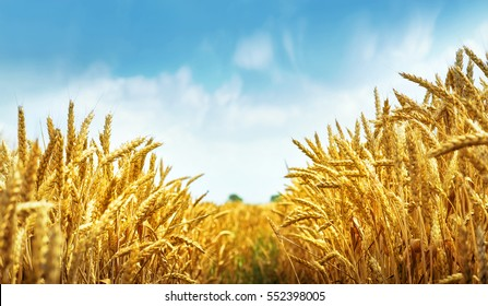 Golden wheat field under blue sky