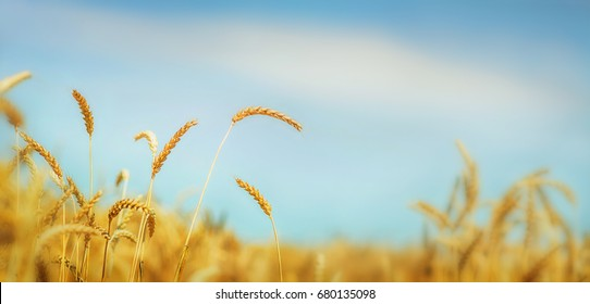 Golden wheat field under blue sky