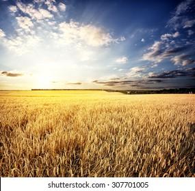 Golden wheat field under a setting sun