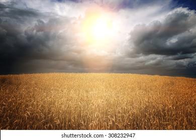 golden wheat fields of Belarus