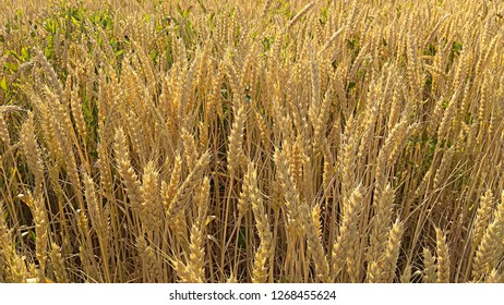 Golden wheat grain stalks. Golden yellow wheat spikes. Ripe wheat spikes in a field on a sunny day. Weeds in a cereal field. Green bindweed in a yellow wheat field.