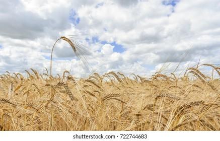 Golden Wheat Growing Under a Cloudy English Summer Sky