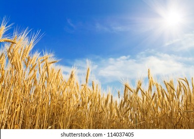 Golden wheat on blue sky background