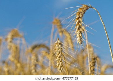 Golden wheat on blue sky background