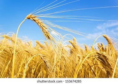 golden wheat on a grain field