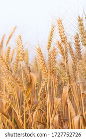 The Golden Wheat Plant in the field