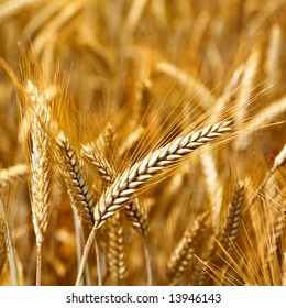 Golden wheat ready for harvest growing in a farm field 6