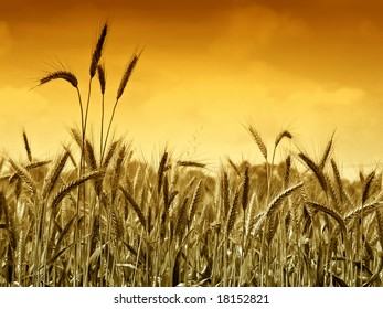 Golden wheat ready for harvest growing in a farm field under sky
