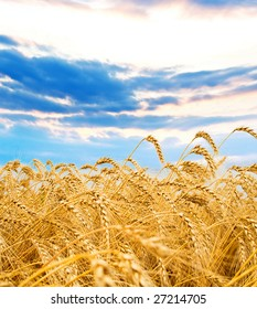 Golden wheat spikes with blue sky over them