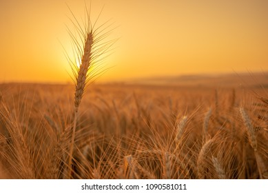 Golden wheat storks in a field of wheat on a golden sunrise