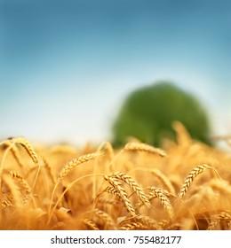 Golden wheat under blue sky