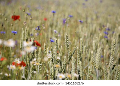 Golden wheat and wild flowers in a farm field, Gotland Sweden.
