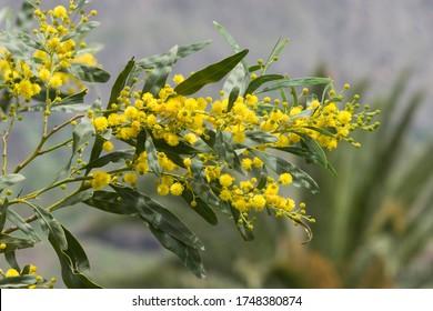 Golden Wreath Wattle Acacia saligna Canary Islands - La Gomera