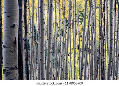 Golden yellow aspen trees during the fall at Maroon Bells in Aspen, Colorado