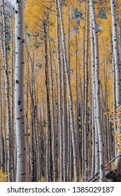 Golden yellow aspen trees during the fall at Maroon Bells in Aspen, Colorado, USA