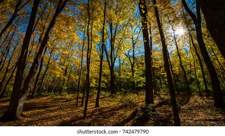 Golden yellow autumn foliage in the forest