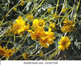 Golden Yellow Brittle Bush flowers glisten in the early spring sunshine in Tonto National Park in Arizona.
