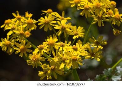 Golden Yellow Butterweed Wildflowers - Packera glabella