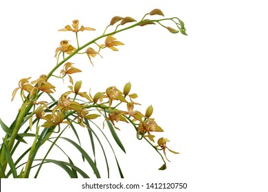 Golden yellow Cymbidium orchid with green leaves, tropical flower plant isolated on white background with clipping path.