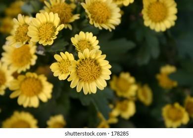 Golden Yellow Flower Patch