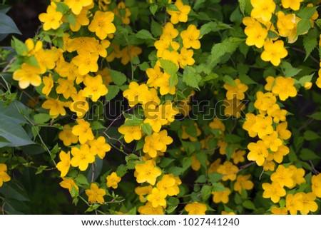 Golden yellow flowers kerria flower kerria stock photo edit now golden yellow flowers of kerria flower kerria japonica mightylinksfo